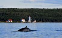 Baleine près du phare de l'Île Verte © Marc Loiselle