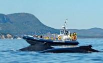 Observation des baleines dans la baie de Gaspé ©Marc Loiselle